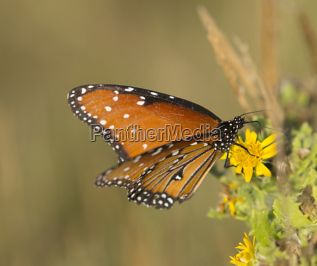 queen butterfly getting nectar from flower