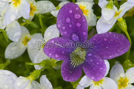 dew drop of birdfoot violet