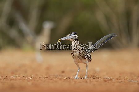 greater roadrunner geococcyx californianus adult with