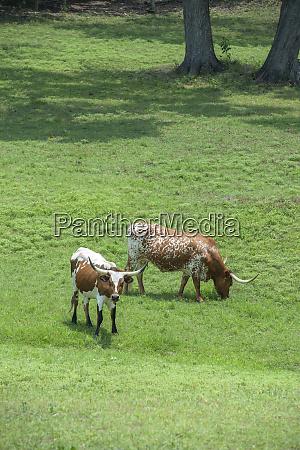texas longhorn steer round top farms