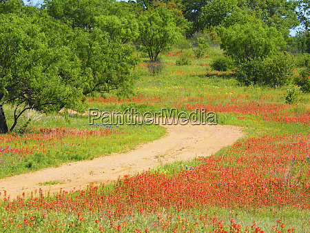 dirt road lined with indian paintbrush