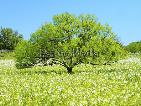 willow tree and white poppies texas