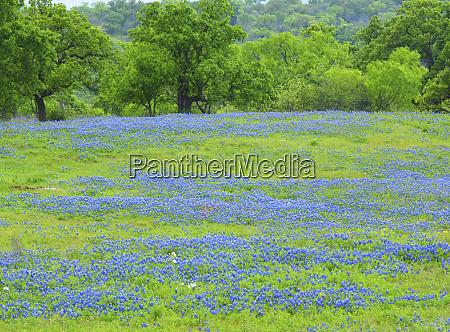 field of bluebonnets and oak trees