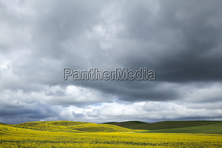 usa washington state palouse blooming canola