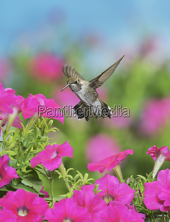 ruby throated hummingbird archilochus colubris young