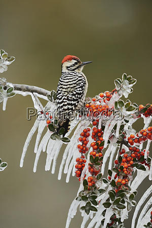ladder backed woodpecker picoides scalaris adult