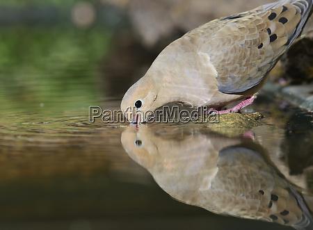mourning dove zenaida macroura adult drinking