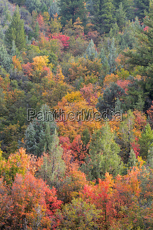 usa utah wasatch mountains maples and