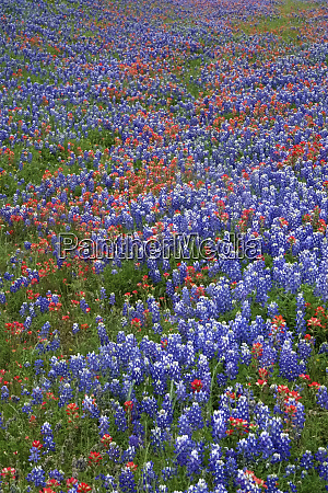 texas, hill, country, wildflowers, , along, the - 27345324
