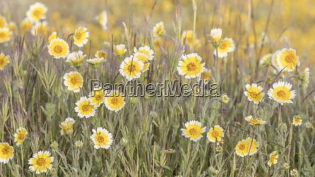 field of tidy tips california shell