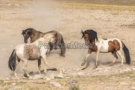 usa utah tooele county wild stallions