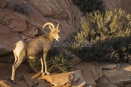 utah a female desert bighorn sheep