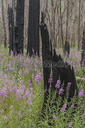 fireweed blooming after a forest fire