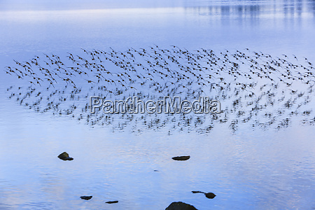 tracyton washington state flock of sandpipers