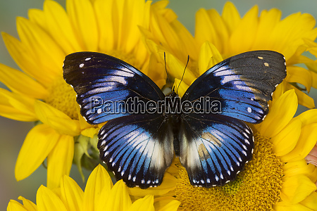 the blue diadem butterfly hypolimnas salmacis