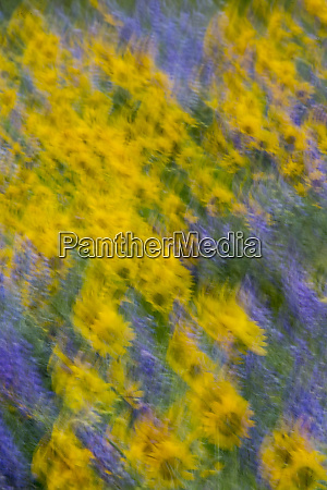 motion blur of lupine and balsamroot