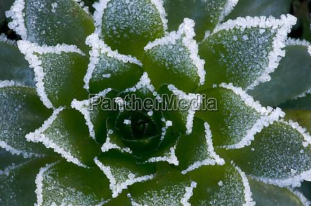 winters frost rim on succulent