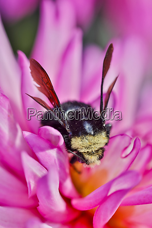 bumble bee on dahlia flower