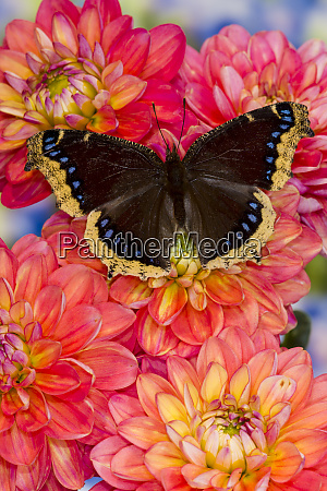 north american butterfly mourning cloak on