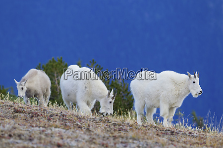 mountain goats foraging on alpine tundra