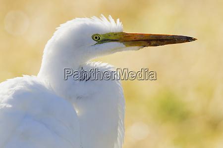 great egret backlight silhouette
