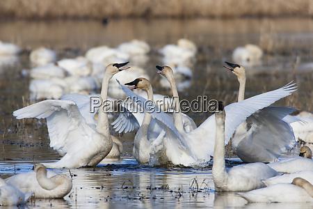 tundra swans wintering flock skagit valley