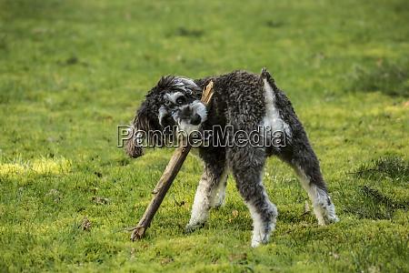issaquah washington state usa schnoodle puppy