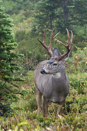 black tailed deer buck