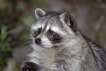 raccoon procyon lotor foraging western washington