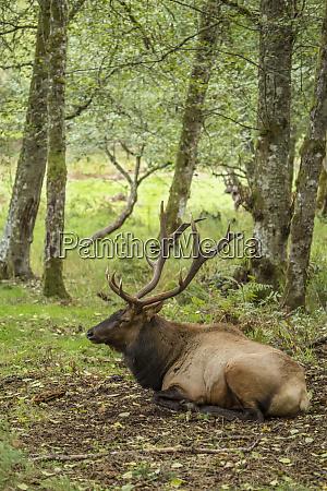 eatonville washington state usa american elk