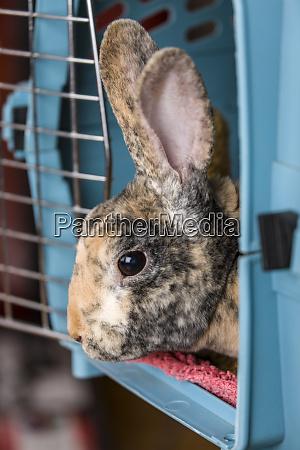 harlequin mini rex pet rabbit in