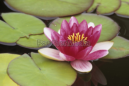 wa seattle flowering water lily