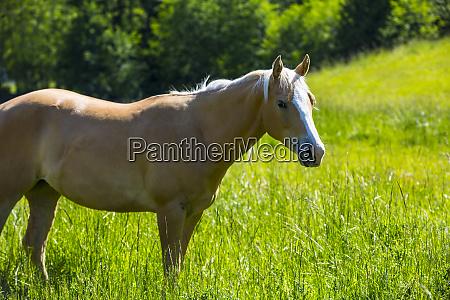 port angeles washington state palomino horse