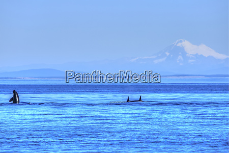 pod of resident orca whales orcinus