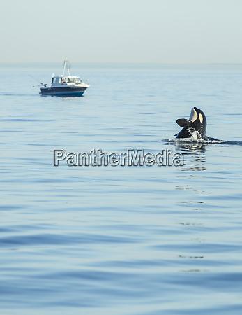 spy hopping juvenile orca from pod