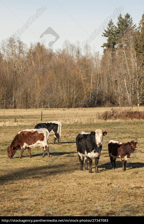 issaquah, , washington, state, , usa., pinzgauer, beef - 27347083