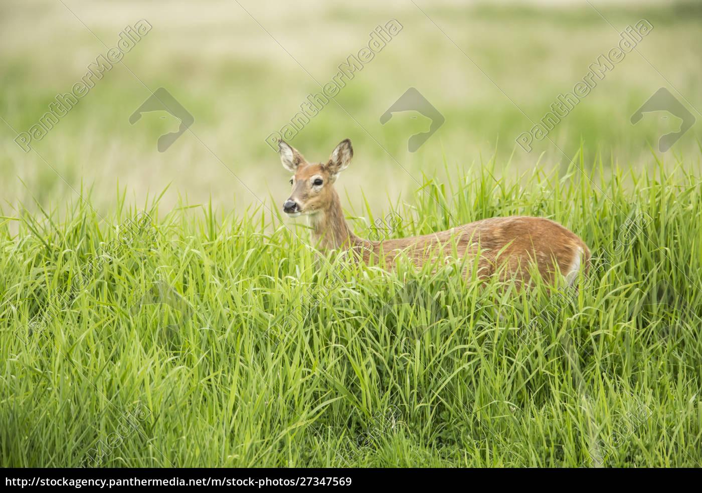 ridgefield, , washington, state, , usa., columbian, white-tailed - 27347569