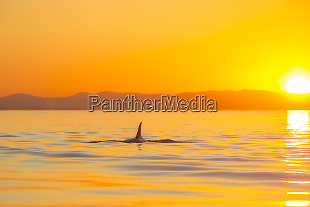 large male orca at sunset from
