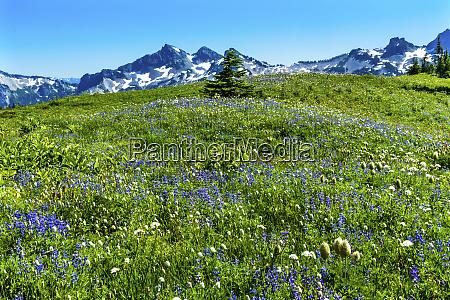 american bistort lupine wildflowers tatoosh range