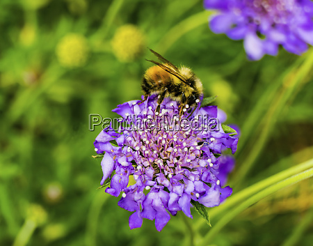 bumble bee searching pollen nectar blue