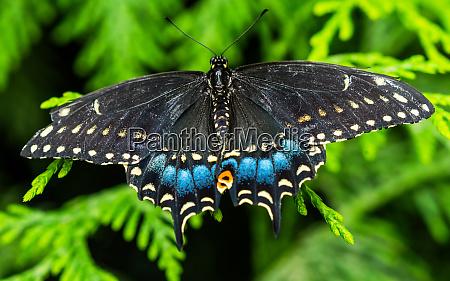 black swallowtail butterfly seattle washington state
