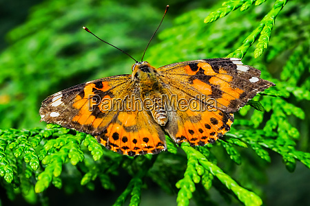 painted lady butterfly seattle washington state