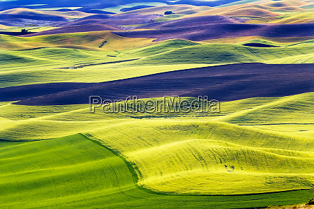 yellow green wheat fields black dirt
