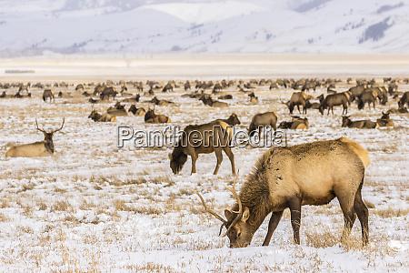 usa wyoming national elk refuge elk