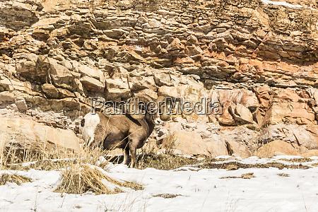 usa wyoming yellowstone national park bighorn