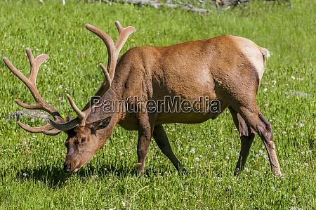 elk cervus canadensis near lake village