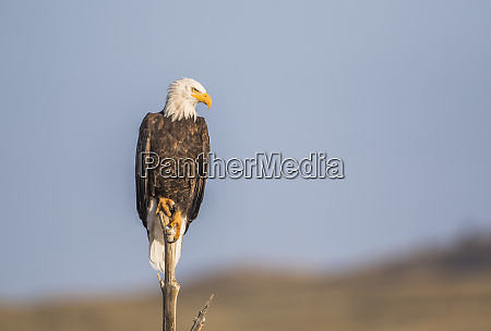 usa wyoming sublette county bald eagle