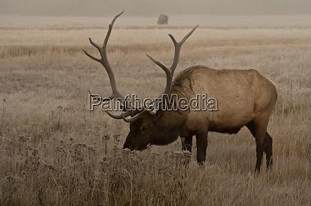 usa wyoming yellowstone national park bull