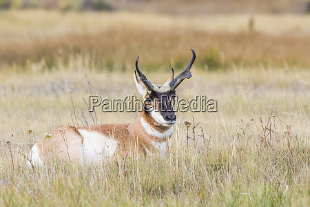 usa wyoming sublette county buck pronghorn