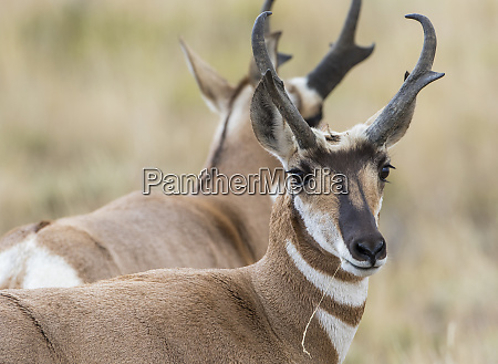 usa wyoming sublette county pronghorn buck